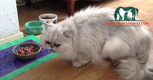 mèo anh lông dài xám ăn gì