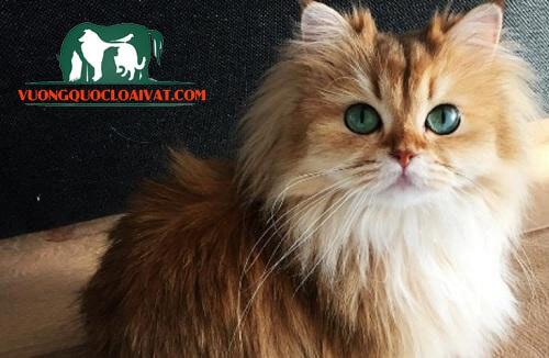 mèo anh lông dài giá bao nhiêu