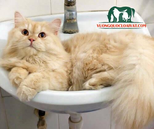 mèo anh lông dài giá