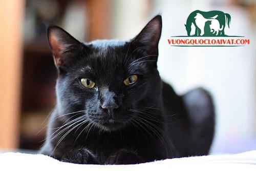 mèo đen may mắn