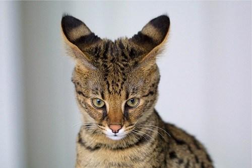 mèo giống báo