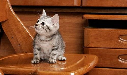 mèo lông ngắn hoa kỳ