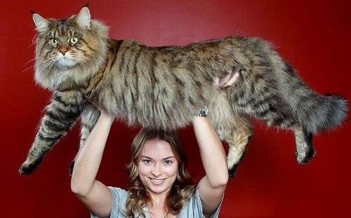 mèo maine coon bao nhiêu tiền
