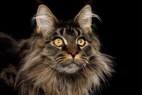 mèo maine coon hà nội