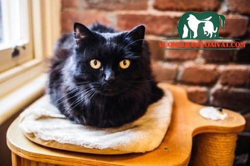 mèo đen vào nhà là điềm gì