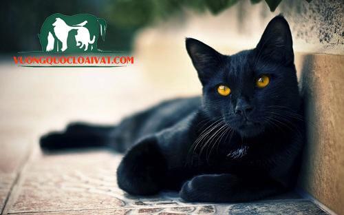 mèo râu đen