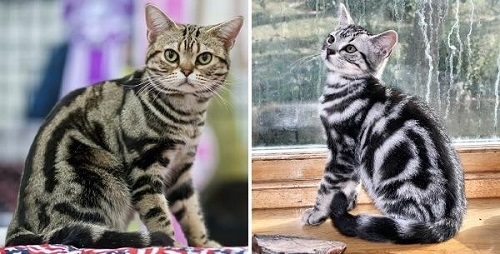 mèo mỹ lông ngắn hà nội