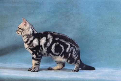mèo Mỹ lông ngắn ăn gi