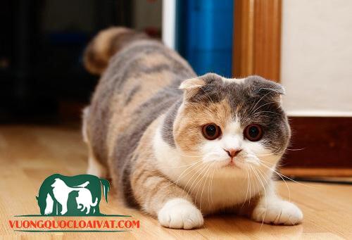 mèo scottish