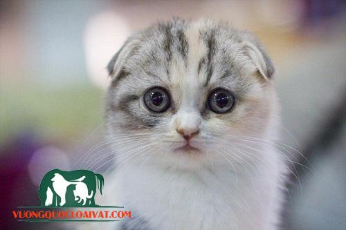 mèo tai cụp chân ngắn