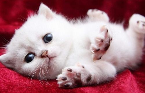 mèo trắng chạy vào nhà