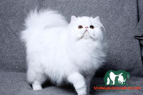 mèo trắng vào nhà