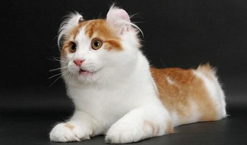 mua bán mèo mỹ lông ngắn