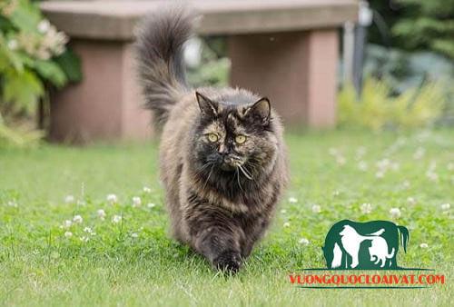 mèo anh lông dài thuần chủng