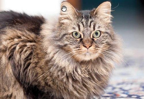 mua mèo maine coon ở hà nội