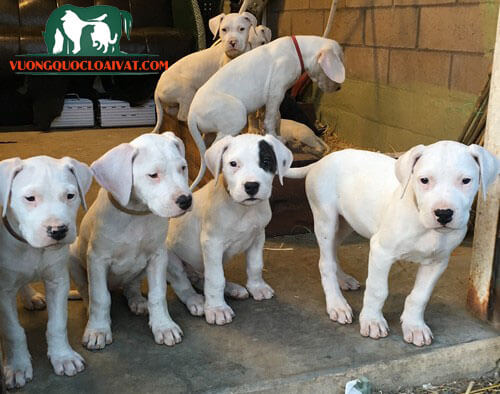 trại chó dogo argentino