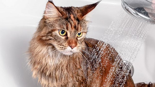 Cách vệ sinh lông cho mèo ALD