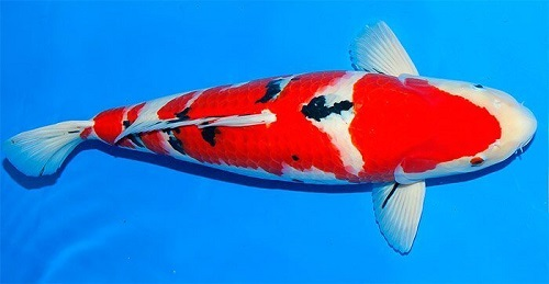 Cá KoiTaishoSanke (Sanke)
