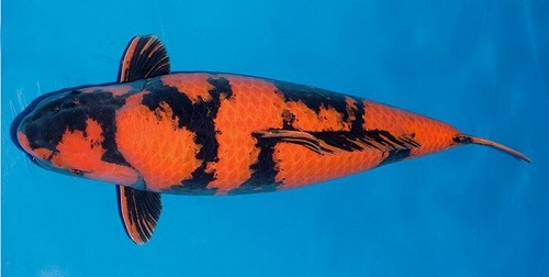 Cá Koi Utsuri khổng lồ
