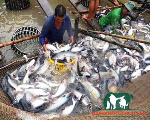 cá basa sống ở đâu