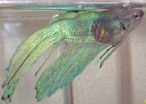 Cá betta bị nhạt màu
