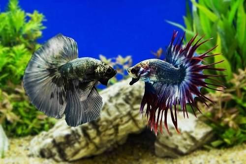 Cá betta nuôi chung với nhau được không?