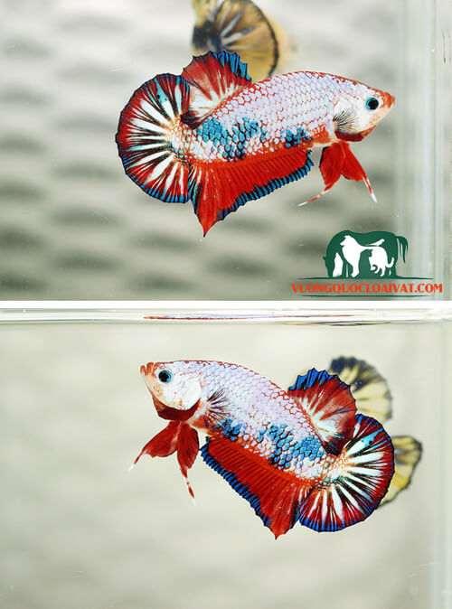 cá betta ăn gì