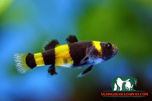 cá bống vàng