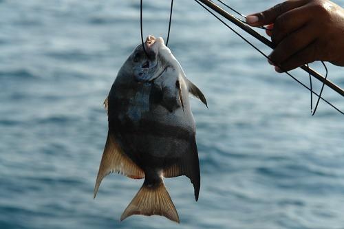 cá tráp đỏ
