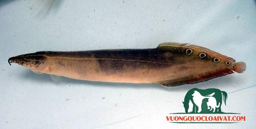 cá chạch lá tre