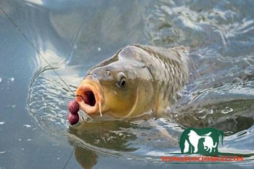 cá chép giòn là gì