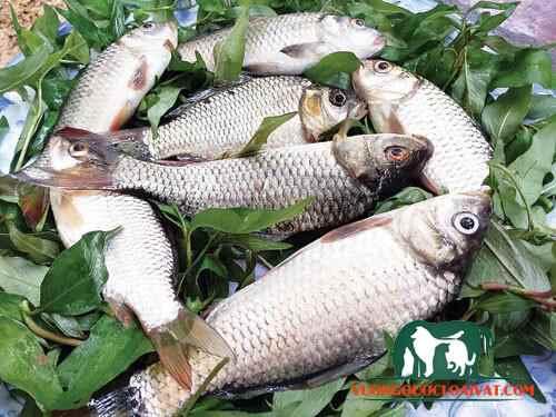 mua cá diếc giống ở đâu