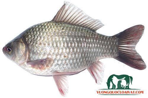 cá diếc