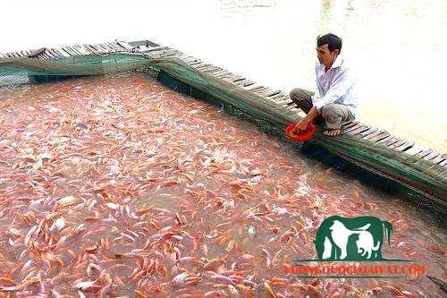 cá diêu hồng ăn gì