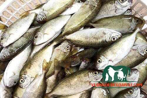 cá kình giá bao nhiêu tiền