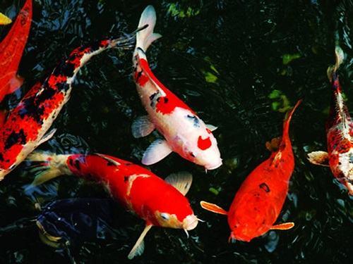 Cá Koi sinh sản thế nào