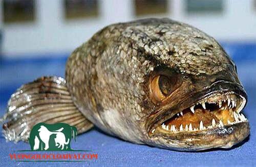 cá mặt quỷ có độc không