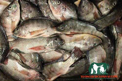 mua cá rô phi ở tphcm