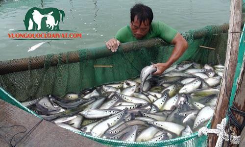 cá thát lát