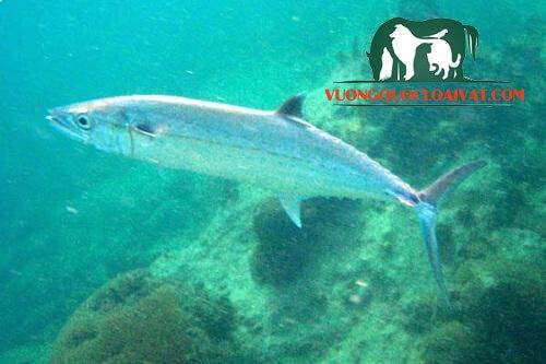 cá thu biển