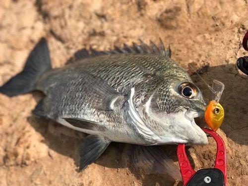câu cá tráp bằng mồi giả