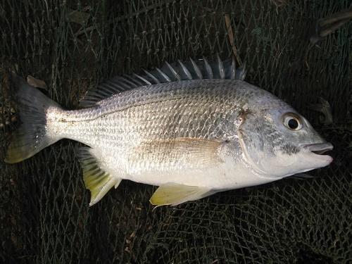 mồi câu cá tráp vàng