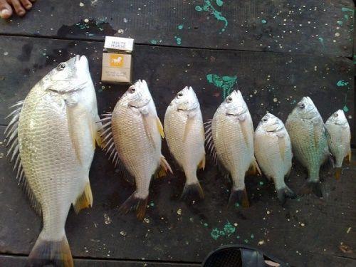 câu cá tráp đầm