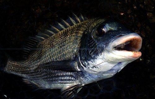 cá tráp làm món gì