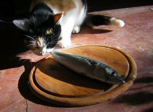 mèo ăn cơm