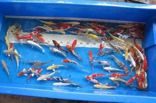 mua cá koi ở hà nội