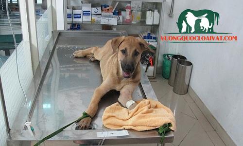 bệnh care ở chó là gì