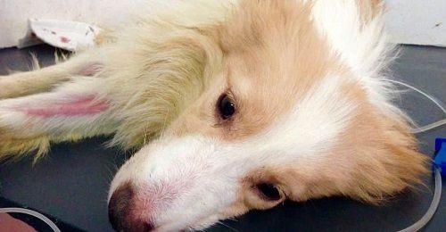 Bệnh Care và Parvo ở chó có giống nhau