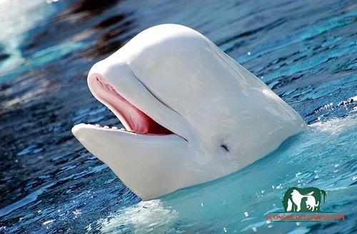 cá heo trắng