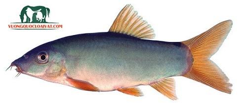 cá heo xanh đuôi đỏ